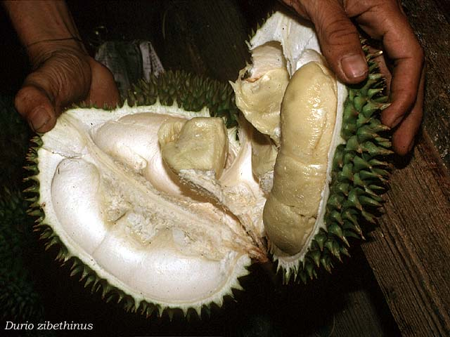 Durian_fruit_JCB_
