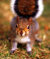 Lo080_london_squirrel_2