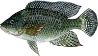 Bluetilapia