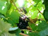 Blackgrapes_2