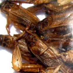 Crickets1_2