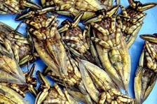 Grasshoppers_3