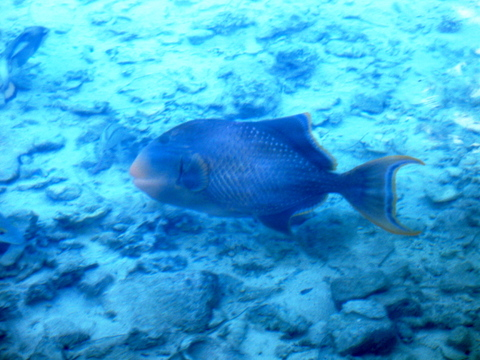 Peachfacetriggerfish