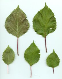 Perilla_frutescens_leaves_3