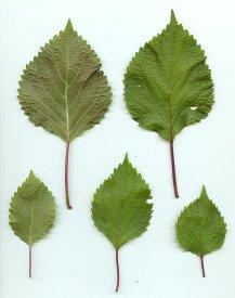 Perilla_frutescens_leaves_3
