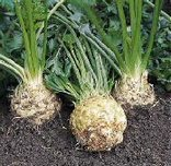 Brilliant_celeriac_root_celery_seeds_1