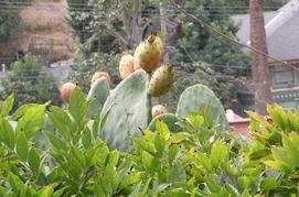 Cactusfruit_1